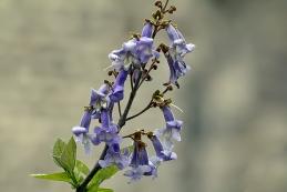Blauglockenbaum 001