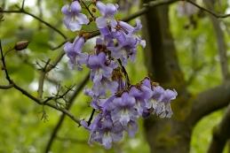 Blauglockenbaum 002