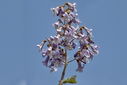 Blauglockenbaum 005