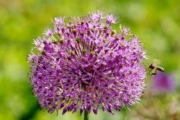 Blumenlauch 001