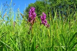 Orchideen Knabenkraut 001