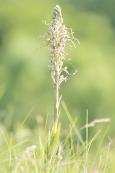 Orchideen Bocks-Riemenzunge 001