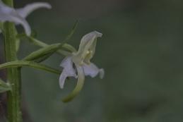 Orchideen Grünliche Waldhyazinthe 003