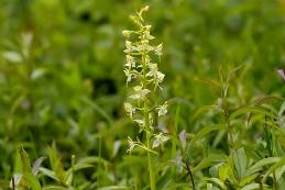 Orchideen Grünliche Waldhyazinthe 001