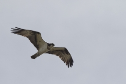 Fischadler 001
